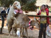 True love in the zoo, sheep and deer?