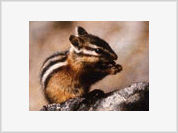 Chipmunks Have the Nuts to Survive an Ice Age