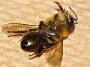 Bee decline: Disease or pesticides?