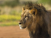 Cecil the Lion: Should Hunting become Murder?