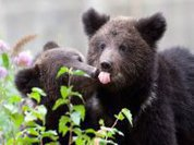 Bear attacks on cattle proliferating in Siberia