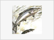American Salmon, a cancer causing time bomb?