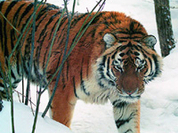 World's biggest tiger living in Russian woods saved from extinction