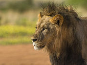 Cecil the Lion: An Open Letter to Theo Bronkhorst