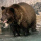 Black bear busted after drinking 36 cans of bear