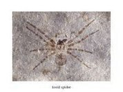 Largest spider in history found