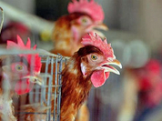 Dangerous bird flu epidemic hits Russia's Siberia