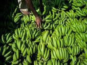 Bananas have key role in food for the warming world