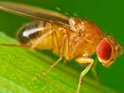 100 years of fruit fly tests show no evolution
