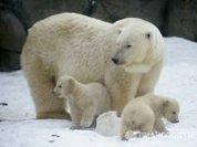 Moscow polar bear cubs appear