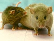 Scientists discover life-extending protein in mice to slow ageing in men