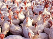 Russia to stop importing US poultry