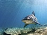 After attacks, France will hunt sharks in Reunion island