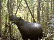 Supposedly extinct species of rhinoceros is seen in Indonesia