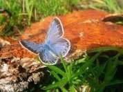 Fukushima accident causes mutation in butterflies