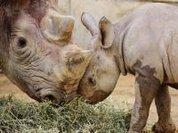 Save the rhinos!