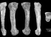 Human foot bone misidentified as Lucy's