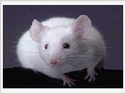 Self-regeneration of human organs becomes possible with the help of mice