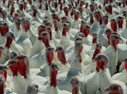 A turkey's hell for 'thank you'