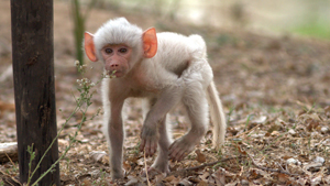 Albino baboon born in Zambia's National Park