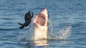 Great white shark hunting for seal