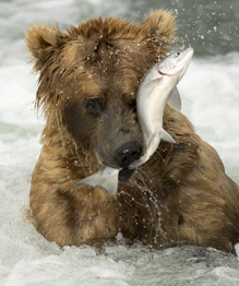 Grizzly bears catching salmon