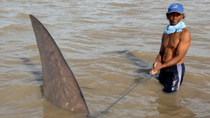 Indonesian fishermen rescue trapped whale shark
