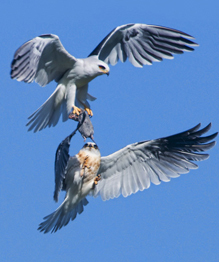 Birds of prey fighting for prey in the air