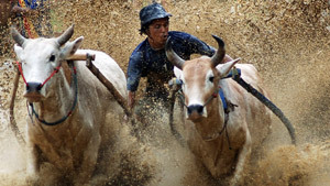 Pacu Jawi, or Cow Race