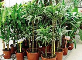 хлорофитум, цветы прекрасным подарком, растение, приносите геранью, помещении несколько хлорофитумов
