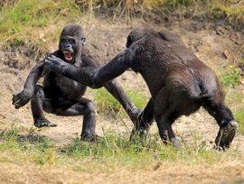 драка, обезьяны