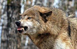 Наркоторговцы оставили на страже тайника с героином волка