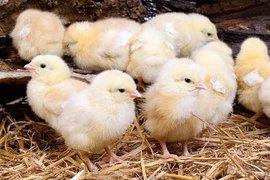 На востоке Китая перевернулся грузовик, перевозивший несколько тысяч цыплят