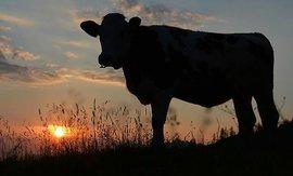 В Башкирии коллекторы отобрали у пенсионерки корову за долги сына
