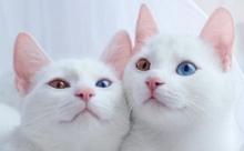 Китайцы будут клонировать умерших котов