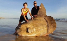 Рыба размером с машину выбросилась на берег Австралии