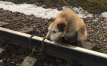 Мужчина привязал собаку к рельсам. Его нашли и заставили объясниться