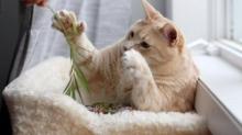 У кота были аномально длинные лапы. Благодаря им он крал еду и растолстел