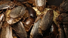 Тараканы быстро развиваются и их стало почти невозможно убить