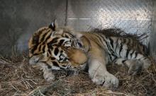 Россиянин убил амурского тигра