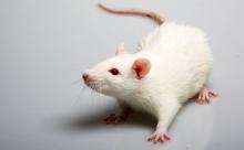 Учёные вылечили алкоголизм у крыс