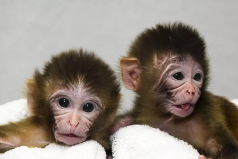 В Китае специалисты пересадили обезьяне человеческий ген