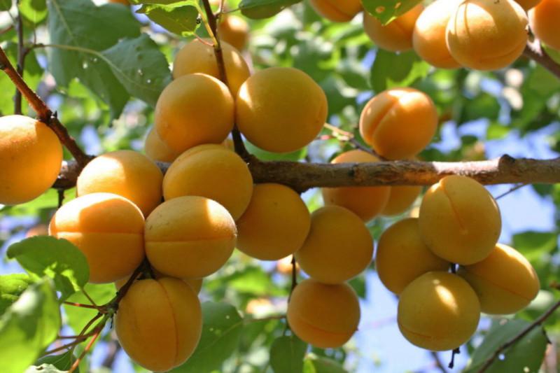 Врачи: абрикосы помогут поддерживать здоровье печени