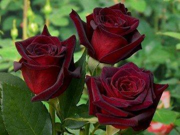 Роза - королева цветов и отличное лекарство