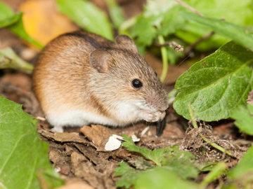 В Саратовской области выявлено 72 случая заболевания мышиной лихорадкой