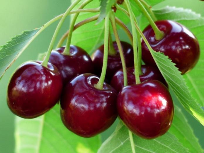 Исследователи: вишня поможет больному кишечнику и уставшим мышцам