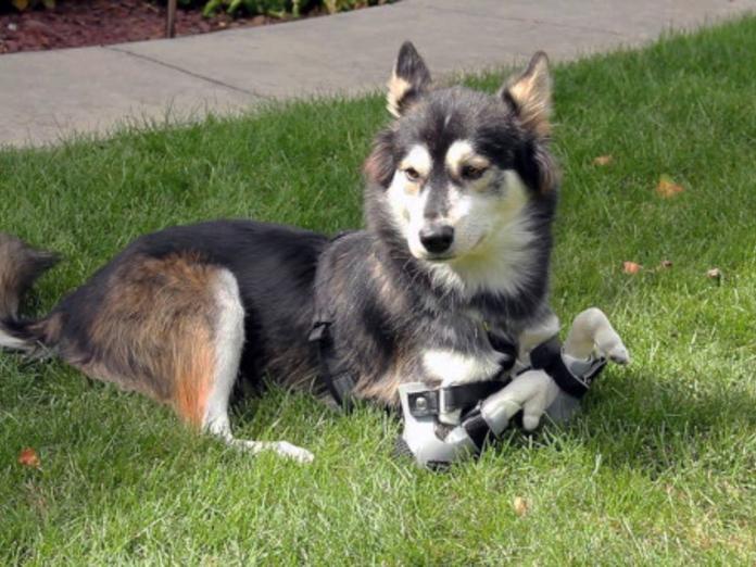 Созданный в Троицке на 3D-принтере протез заменил лапу собаке