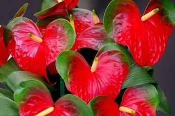 Домашние цветы, опасные для здоровья