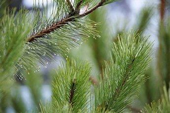 Лечение новогодней елью