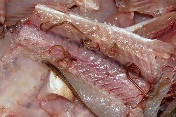 Глисты защищают организм человека… от рака
